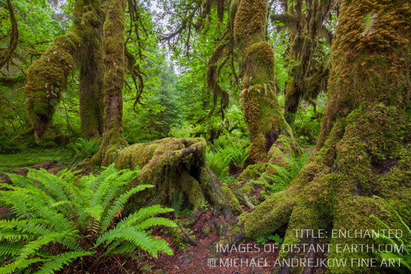 Enchated Forest Washington Fine Art home decor Artwork Rainforest Moss Trees Michael Andrejkow