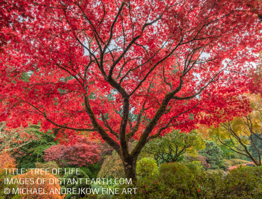 Japanese Maple Tree Garden Fine Art Photography Collection Interior Design and Home Decor Michael Andrejkow