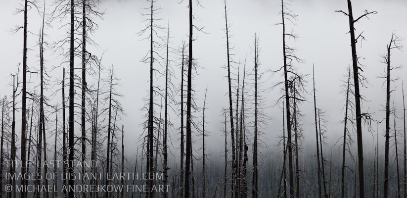 Last Stand Trees against fog Canadian Rockies Luxury Fine Art Home Decor Artwork Michael Andrejkow