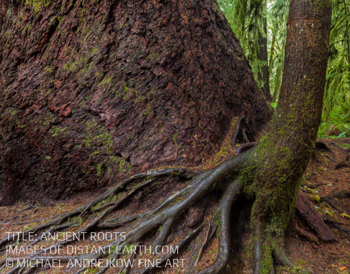 Vancouver Island Fine Art Old Growth Rainforest Tree Roots Luxury Fine Art Home Decor Interior Design Michael Andrejkow